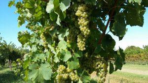 uva bianca lunardelli